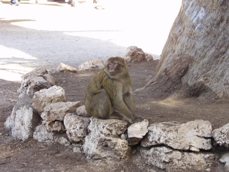 Près de Tamanrasset les singes veillent sur l'arbre du Père Charles de Foucaud.